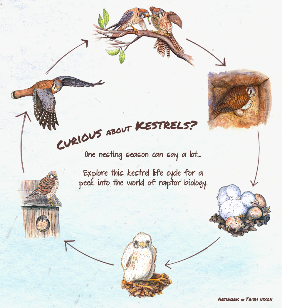 kestrel biology overview
