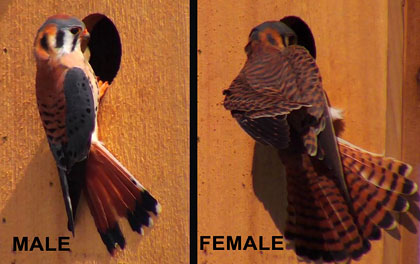 american kestrel male female examples